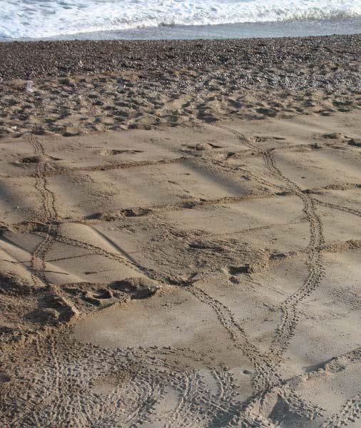 Şekil 10. Yuvadan çıkan yavruların kumsal üzerindeki izleri