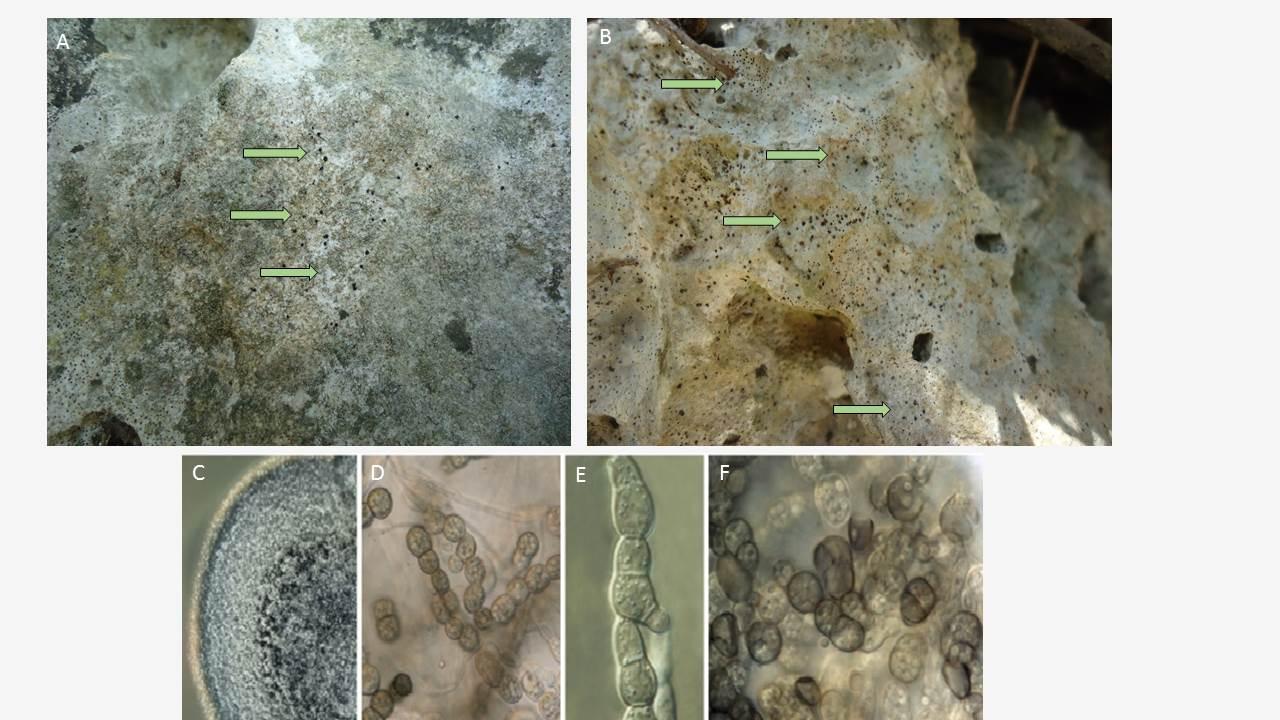 Phaselis Antik Kenti 'Antik Teras Çevresi' tarihi kalıntılarında siyah mikromantarların oluşturduğu kolonilerin görüntüsü; C,D,E,F: Antik Teras Çevresi kalıntılarından izole edilen Coniosporium apollinis'in görüntüleri (C: Malt extrakt besiyeri üzerinde, D,E,F: Mikroskobik görüntü, x3000)