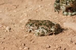 Saha ve yakın çevresinde de görülebilen, nemli yerlerde bulunan geniş yayılışlı türlerden olan gece kurbağası