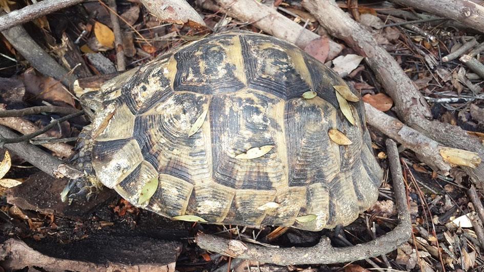 Şekil 5. Antik kent ve yakın çevresinde de görülebilen, vejatasyonun olduğu karasal tüm habitatlarda sıklıkla rastlanılabilen tosbağa