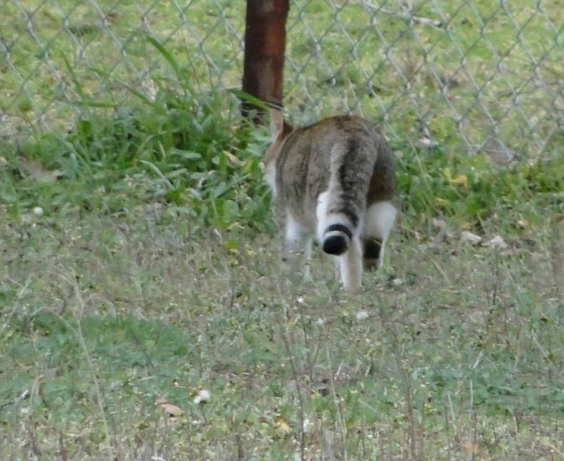 Şekil 5. Sahada gezinirken fotoğraflanan yaban kedisi bireyi