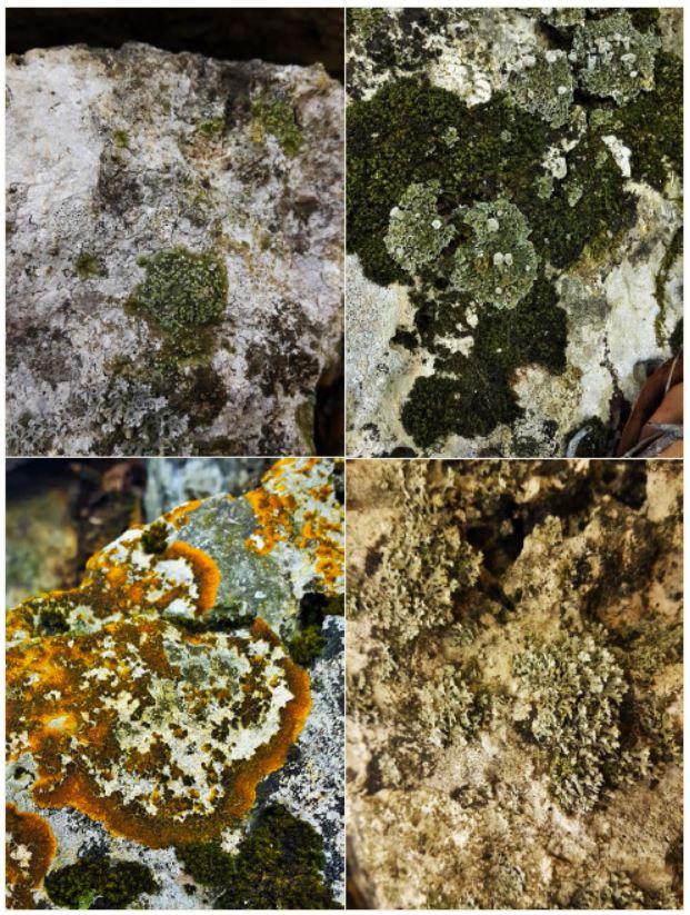 Şekil 6. Thebe (Rez Burnu Tepesi) Antik Kenti'nden bazı liken türleri Sol üst: Solenopsora olivacea ssp. olbiensis, Sol alt: Variospora aurantia Sağ üst: Cladonia pocillum Sağ alt: Physcia adscendens