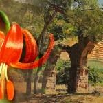 "Phaselis'te Yetişen Bir Bitki: ""Lathyrus Phaselitanus"""