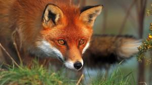 Kızıl Tilki (temsili).